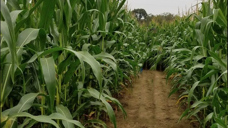 corn-maze-min